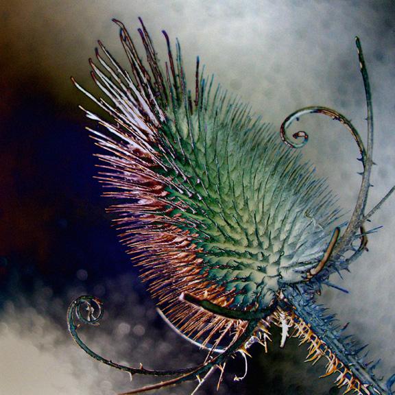 Thistle seedhead